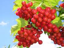 Виступ учнів-ботаніків Влітку починають дозрівати дуже гарні яскраво-червоні ...