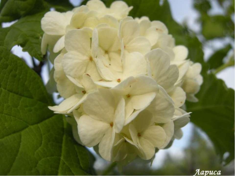 Завдання 4 (зошит, с. 16). Творча робота. Який цвіт? Білий, зібраний у суцвіт...
