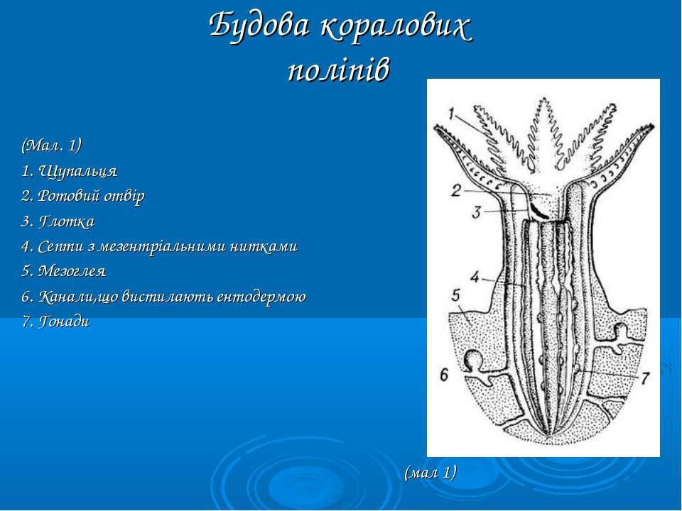 Будова коралових поліпів (Мал. 1) 1. Щупальця 2. Ротовий отвір 3. Глотка 4. С...