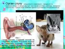 Орган слуху складається із зовнішнього , середнього та внутрішнього вух, у се...