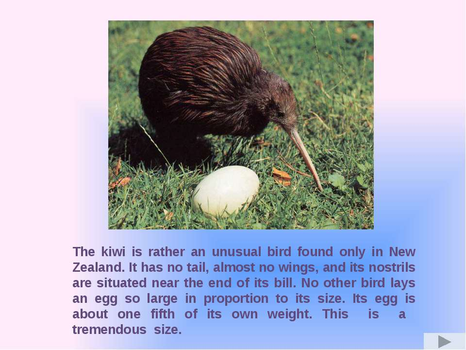 The kiwi is rather an unusual bird found only in New Zealand. It has no tail,...