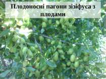 Плодоносні пагони зізіфуса з плодами