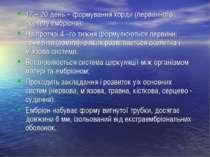 17 – 20 день – формування хорди (первинного скелету ембріона); На протязі 4 –...