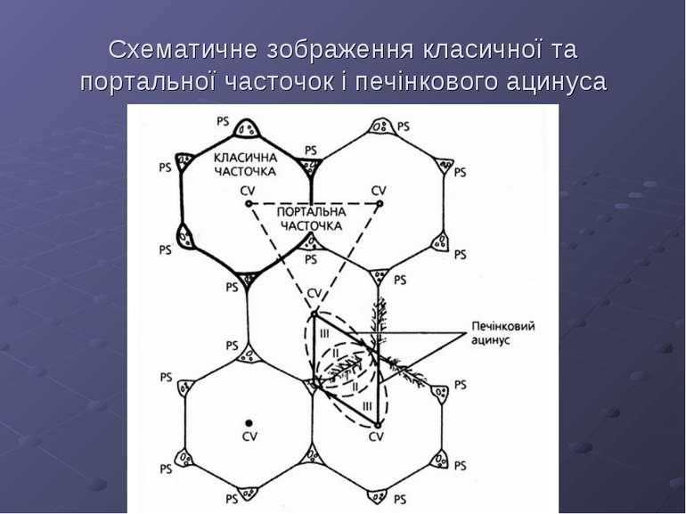 Схематичне зображення класичної та портальної часточок і печінкового ацинуса