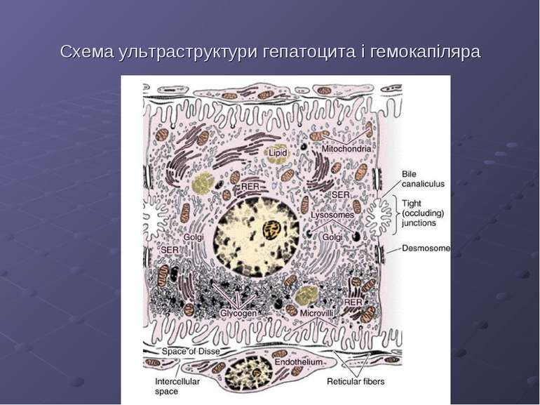 Схема ультраструктури гепатоцита і гемокапіляра