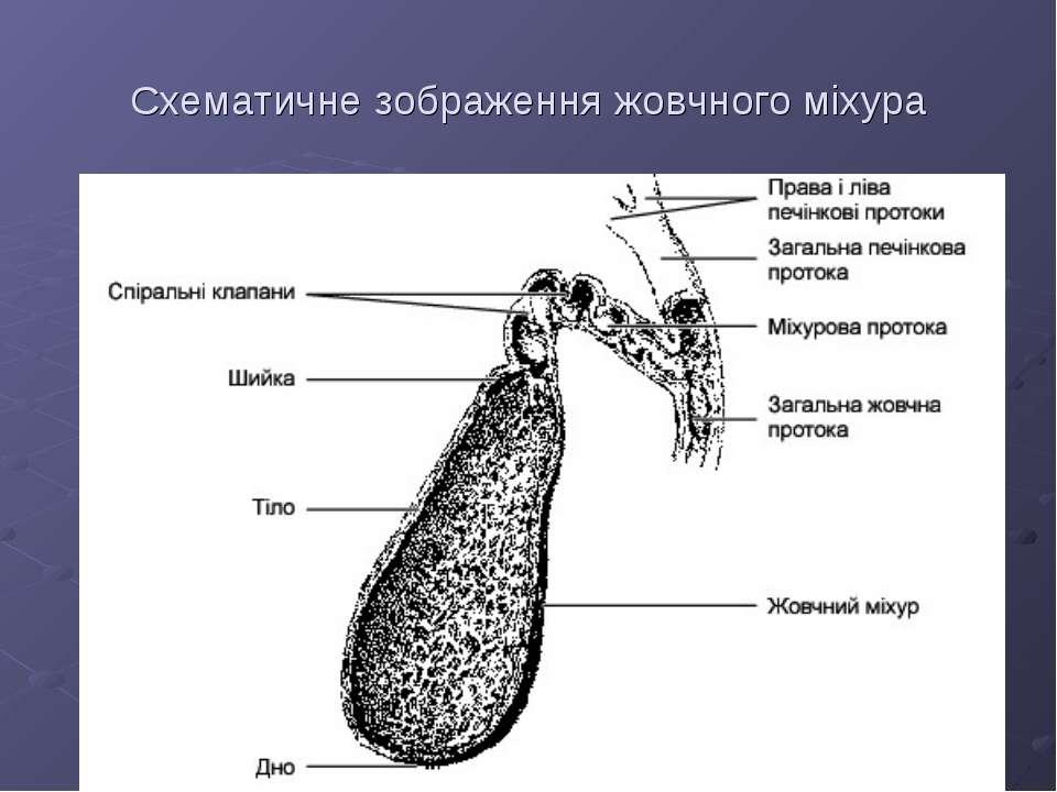 Схематичне зображення жовчного міхура