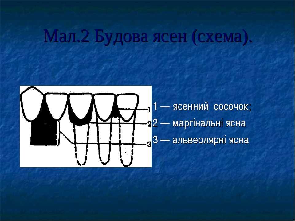Мал.2 Будова ясен (схема). 1 — ясенний сосочок; 2 — маргінальні ясна 3 — альв...