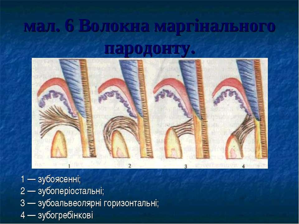 мал. 6 Волокна маргінального пародонту. 1 — зубоясенні; 2 — зубоперіостальні;...