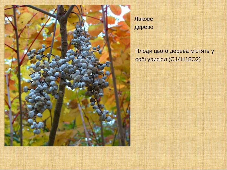 Плоди цього дерева містять у собі урисіол (C14H18O2) Лакове дерево