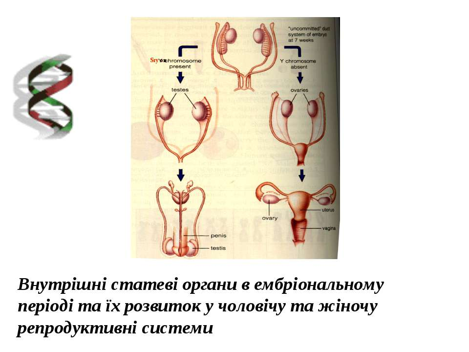 Внутрішні статеві органи в ембріональному періоді та їх розвиток у чоловічу т...