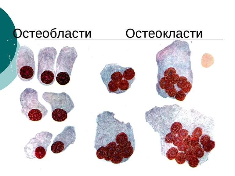 Остеобласти Остеокласти