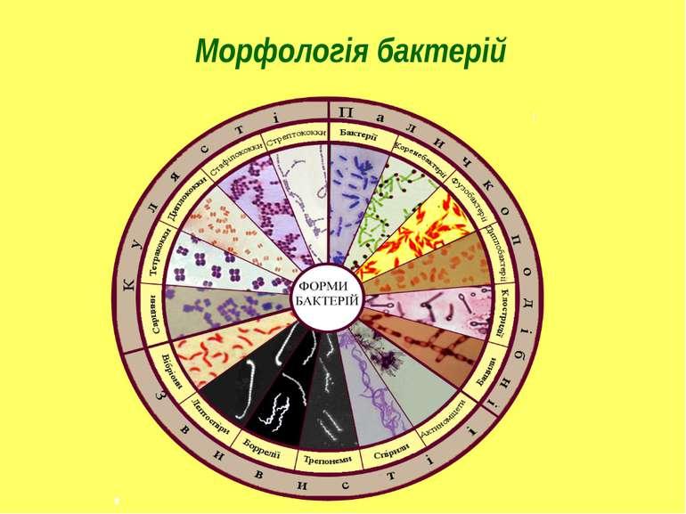 Морфологія бактерій