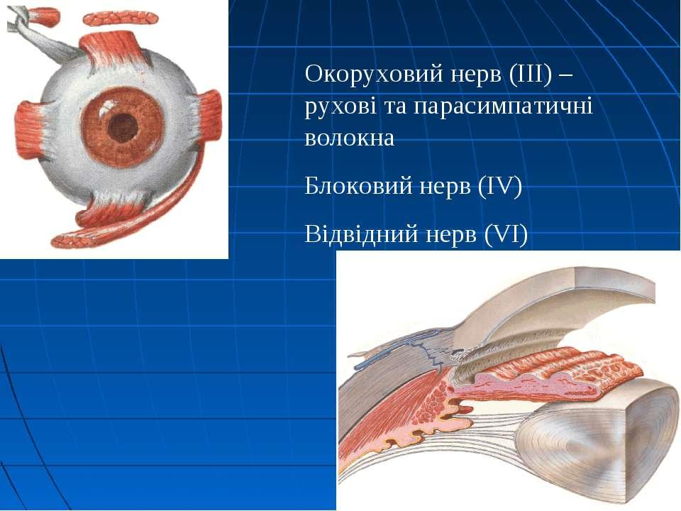 Окоруховий нерв (ІІІ) – рухові та парасимпатичні волокна Блоковий нерв (IV) В...