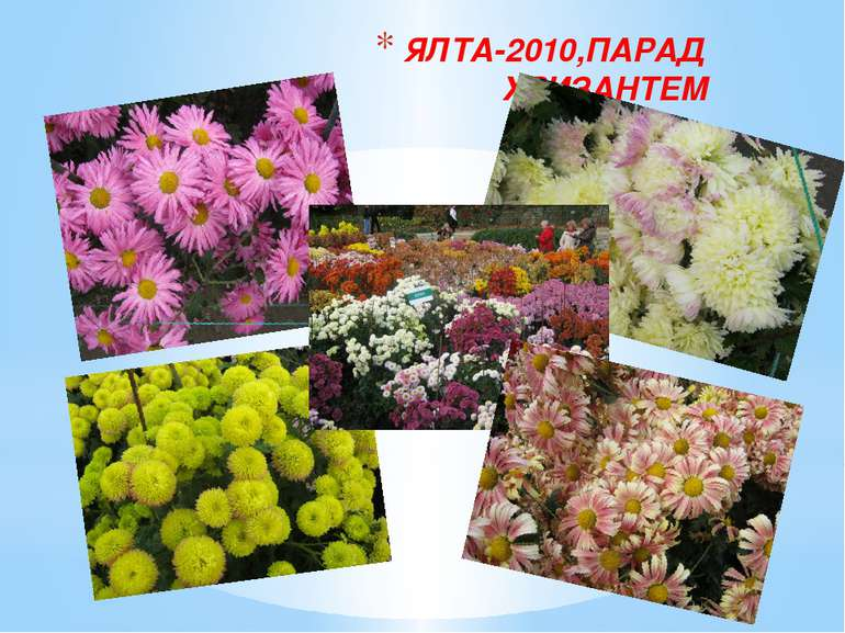 ЯЛТА-2010,ПАРАД ХРИЗАНТЕМ