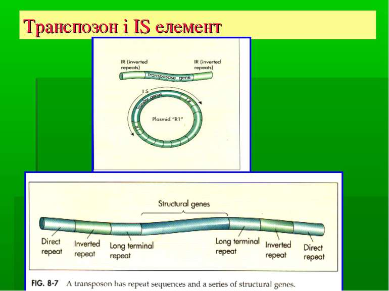 Транспозон і IS елемент