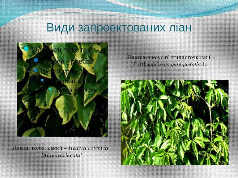 Види запроектованих ліан Плющ колхідський – Hedera colchica 'Aureovariegata' ...