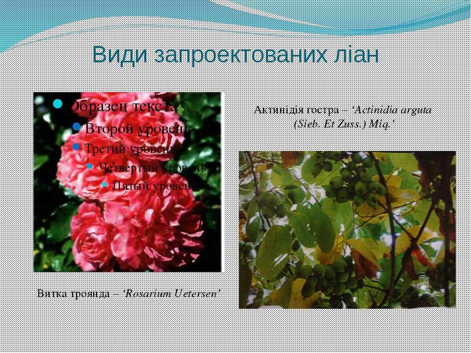 Види запроектованих ліан Витка троянда – 'Rosarium Uetersen' Актинідія гостра...