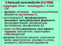 Кальцій-кальмодулін (Са+2/КМ) - структура: білок – кальмодулін + 4 іони Са+2;...