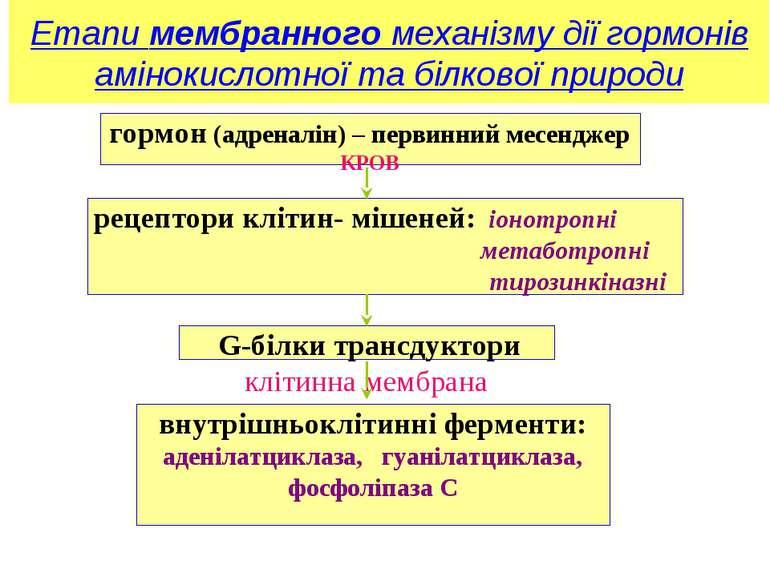 Етапи мембранного механізму дії гормонів амінокислотної та білкової природи г...