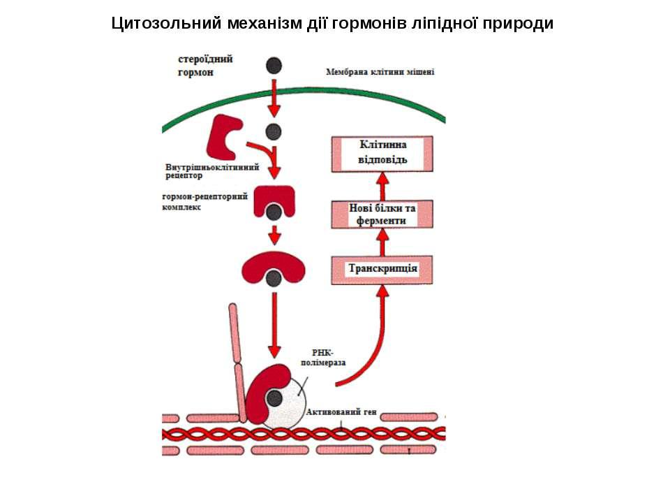 Цитозольний механізм дії гормонів ліпідної природи