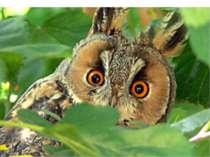 Вухата сова