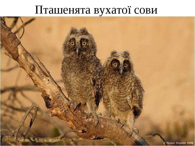Пташенята вухатої сови