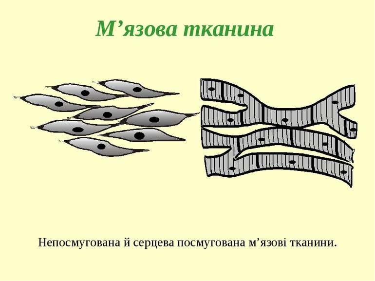 М'язова тканина Непосмугована й серцева посмугована м'язові тканини.