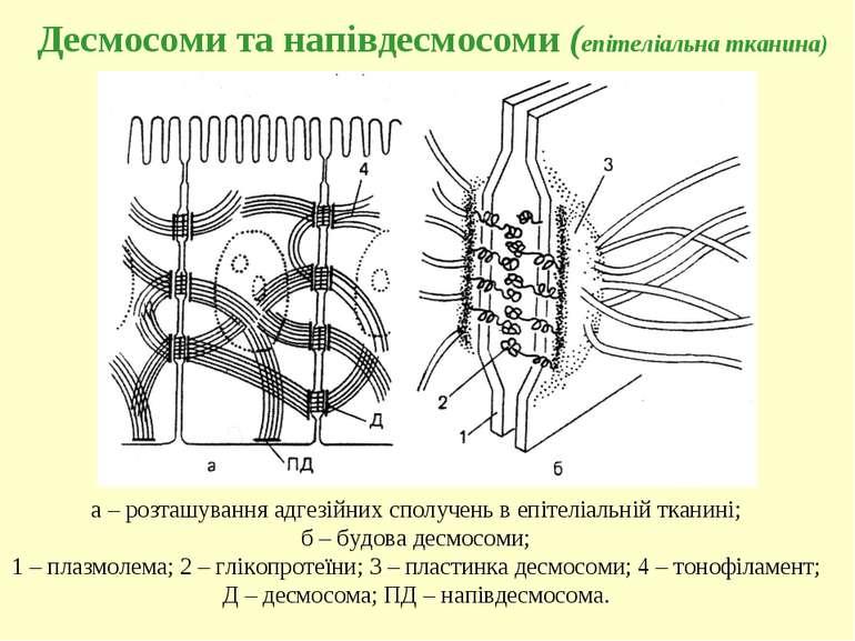 Десмосоми та напівдесмосоми (епітеліальна тканина) а – розташування адгезійни...