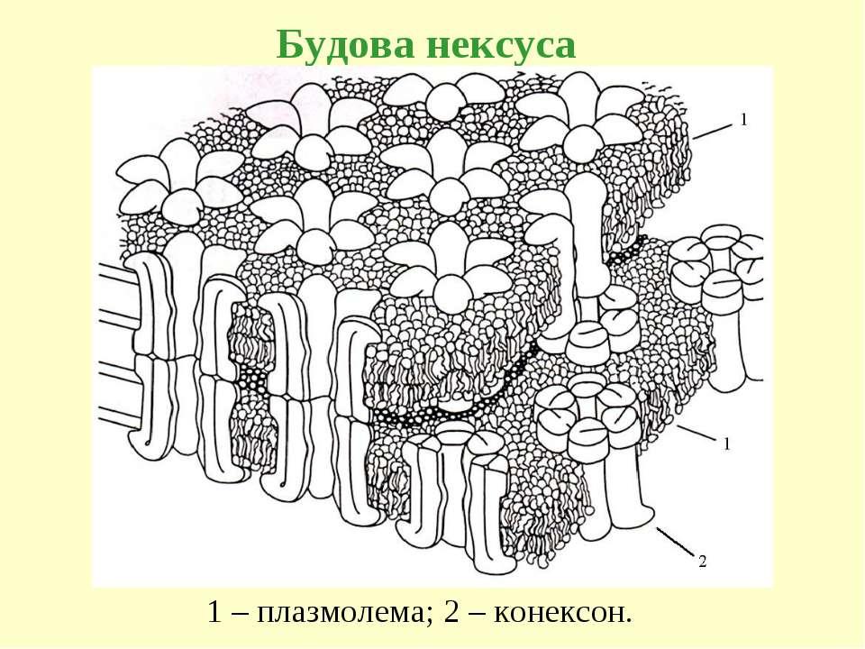 Будова нексуса 1 – плазмолема; 2 – конексон.
