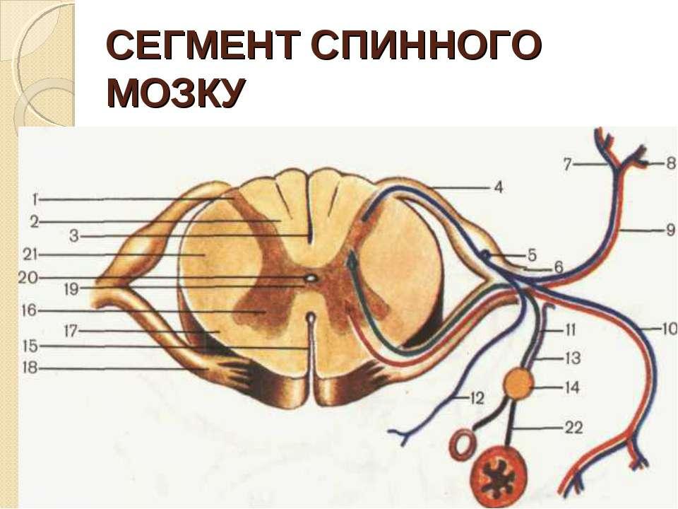 СЕГМЕНТ СПИННОГО МОЗКУ