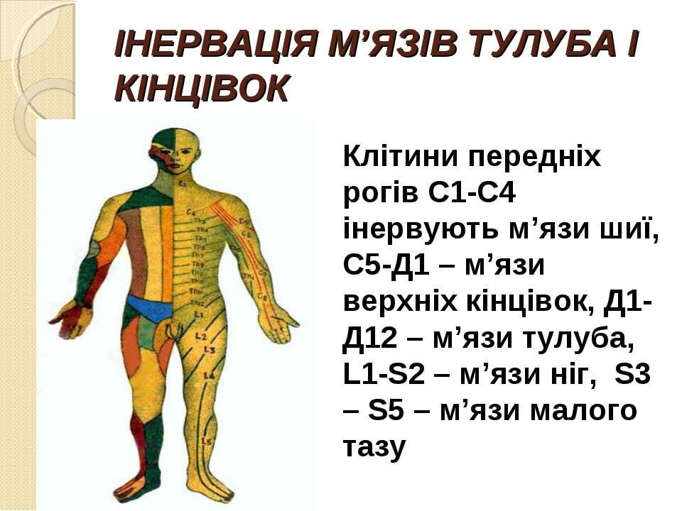 ІНЕРВАЦІЯ М'ЯЗІВ ТУЛУБА І КІНЦІВОК Клітини передніх рогів С1-С4 інервують м'я...