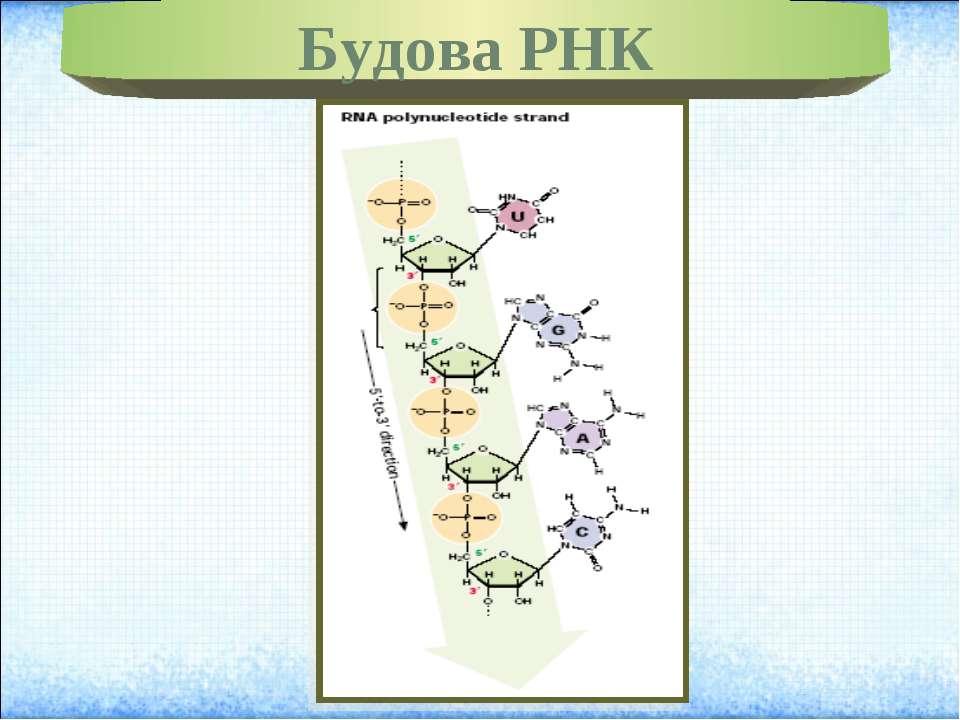 Будова РНК