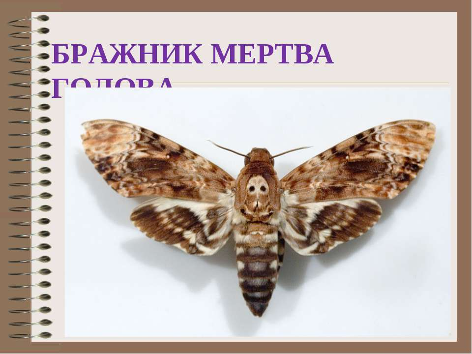 БРАЖНИК МЕРТВА ГОЛОВА