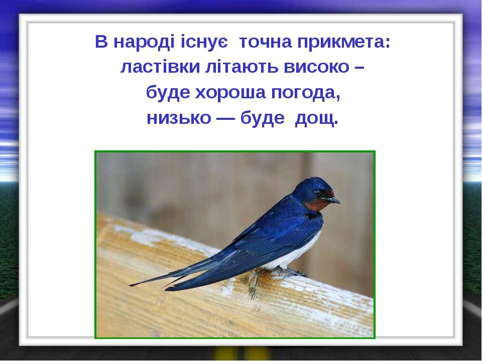 В народі існує точна прикмета: ластівки літають високо – буде хороша погода, ...