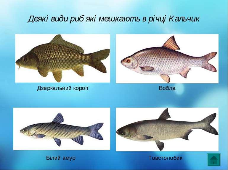 Деякі види риб які мешкають в річці Кальчик Дзеркальний короп Вобла Білий аму...