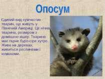 Єдиний вид сумчастих тварин, що живуть у Північній Америці. Це нічна тварина,...