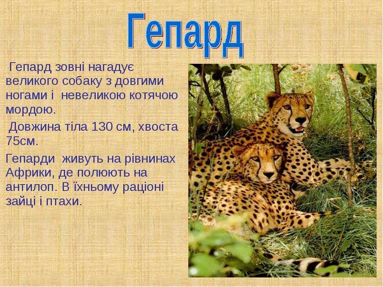 Гепард зовні нагадує великого собаку з довгими ногами і невеликою котячою мор...