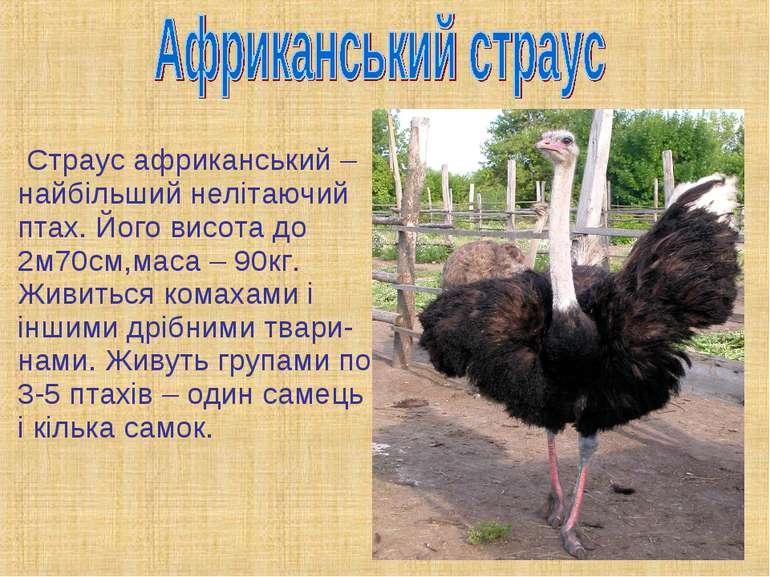 Страус африканський – найбільший нелітаючий птах. Його висота до 2м70см,маса ...