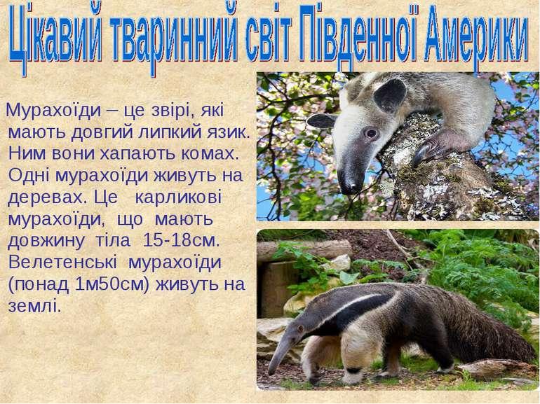 Мурахоїди – це звірі, які мають довгий липкий язик. Ним вони хапають комах. О...