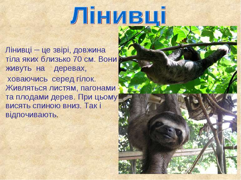 Лінивці – це звірі, довжина тіла яких близько 70 см. Вони живуть на деревах, ...