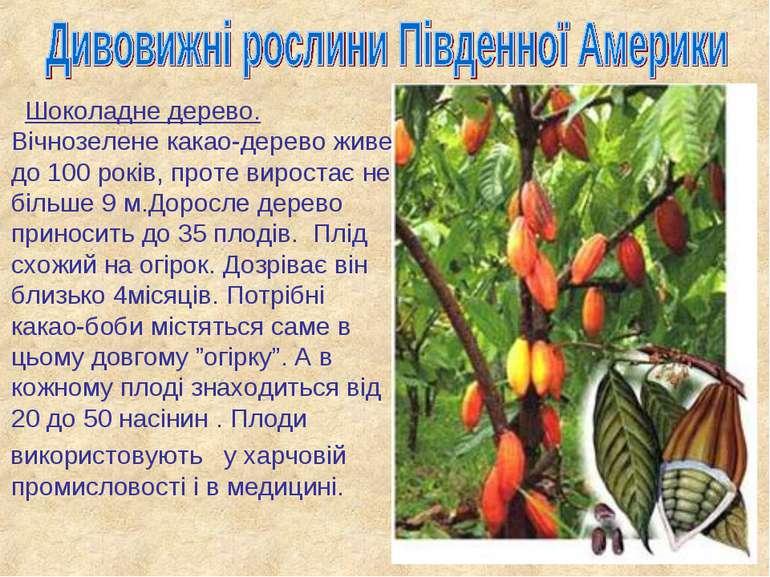 Шоколадне дерево. Вічнозелене какао-дерево живе до 100 років, проте виростає ...