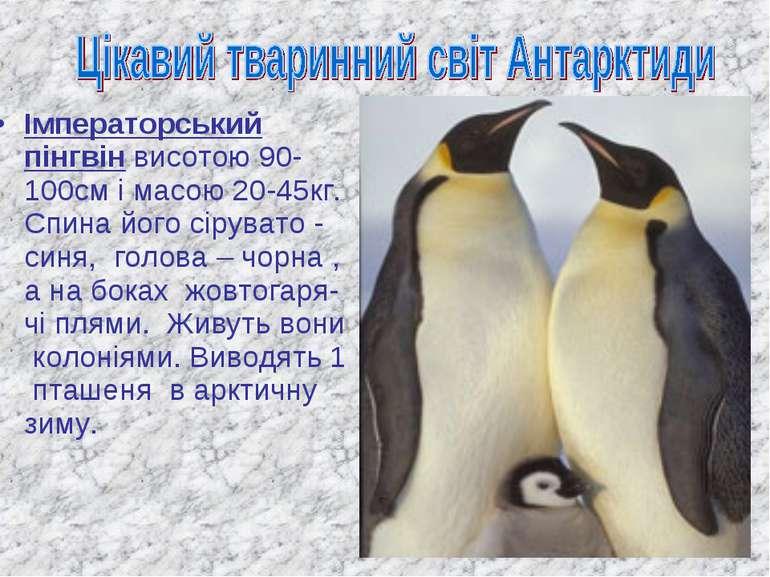 Імператорський пінгвін висотою 90-100см і масою 20-45кг. Спина його сірувато ...