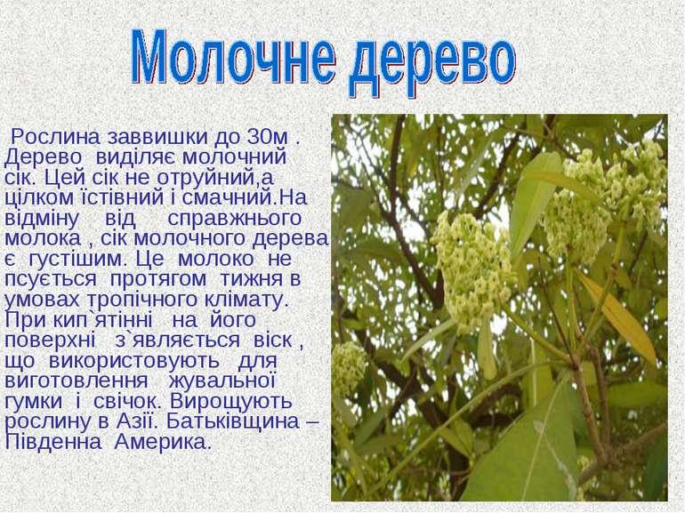 Рослина заввишки до 30м . Дерево виділяє молочний сік. Цей сік не отруйний,а ...