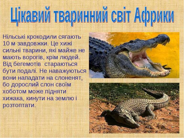 Нільські крокодили сягають 10 м завдовжки. Це хижі сильні тварини, які майже ...