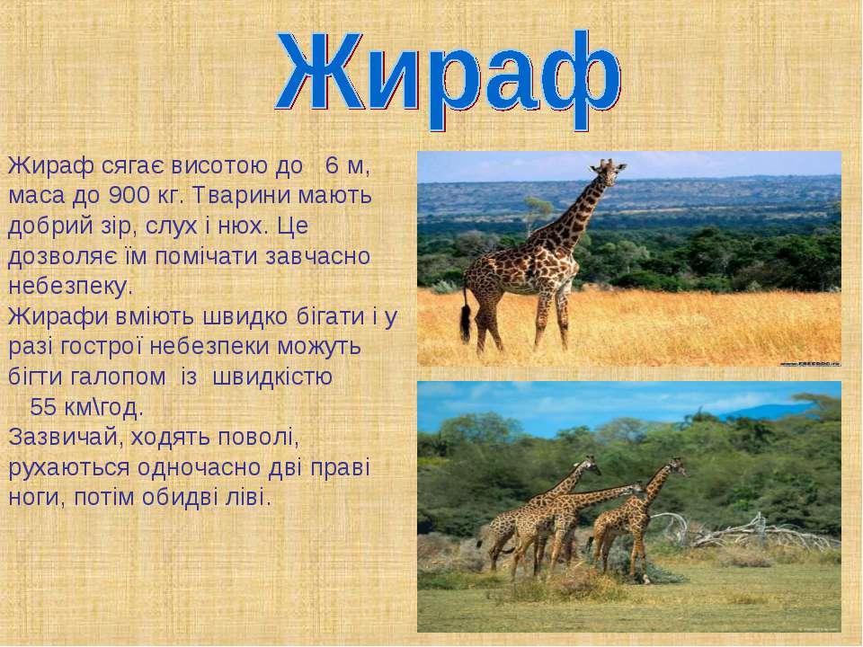 Жираф сягає висотою до 6 м, маса до 900 кг. Тварини мають добрий зір, слух і ...