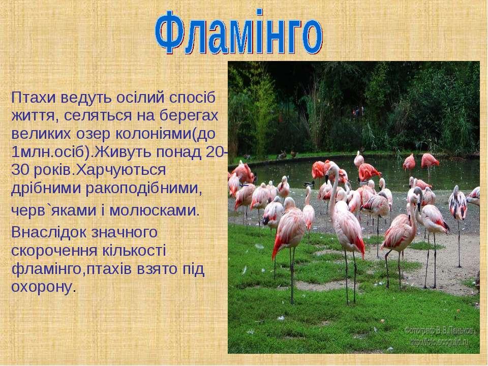 Птахи ведуть осілий спосіб життя, селяться на берегах великих озер колоніями(...