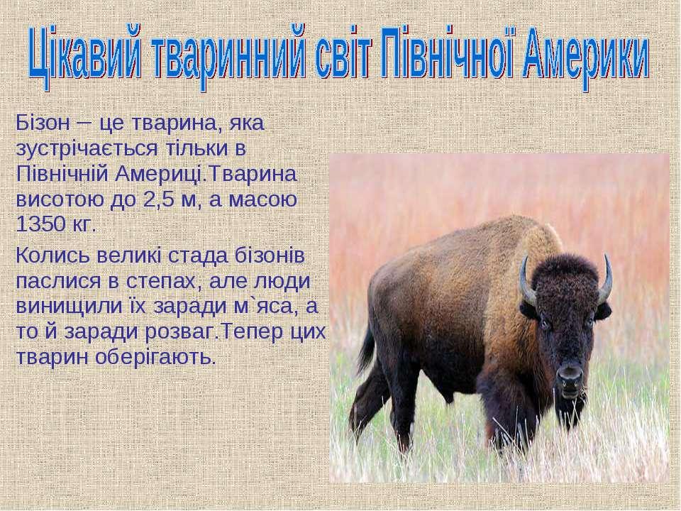 Бізон – це тварина, яка зустрічається тільки в Північній Америці.Тварина висо...