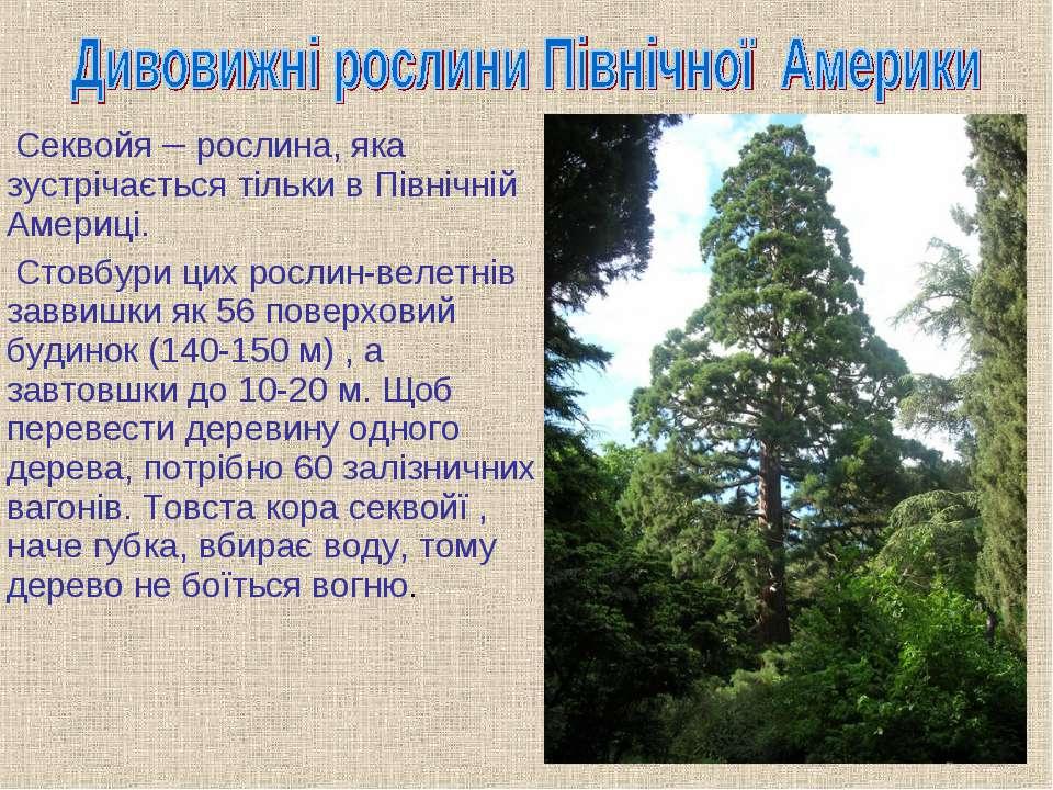 Секвойя – рослина, яка зустрічається тільки в Північній Америці. Стовбури цих...