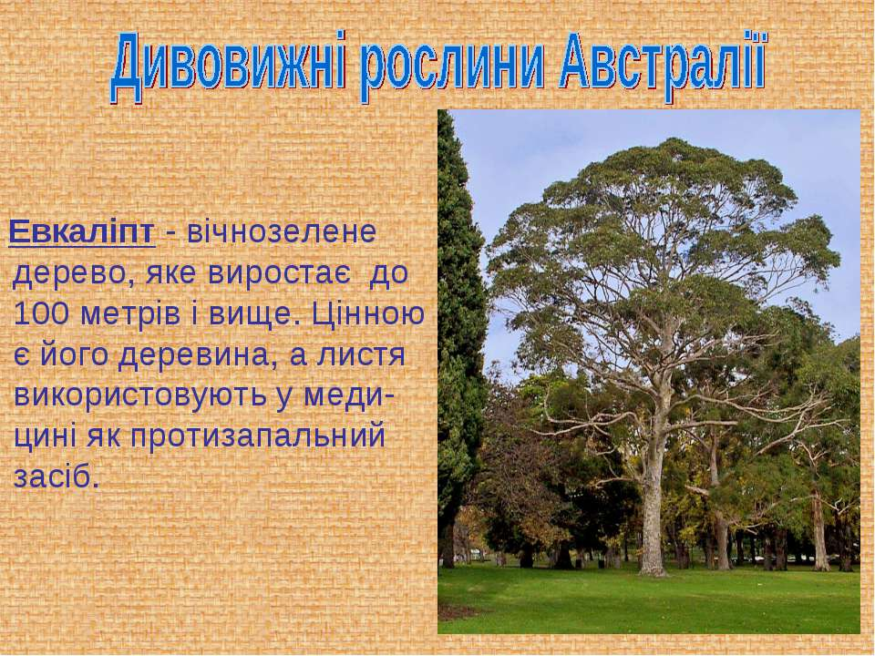 Евкаліпт - вічнозелене дерево, яке виростає до 100 метрів і вище. Цінною є йо...