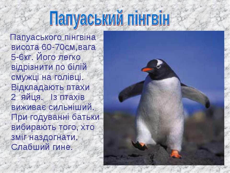 Папуаського пінгвіна висота 60-70см,вага 5-6кг. Його легко відрізнити по білі...